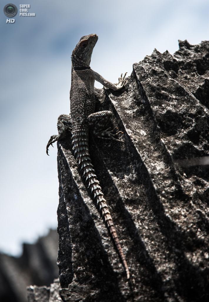 Мадагаскар. Один из жителей заповедника Цинжи-дю-Бемараха. (Ralph Kränzlein)