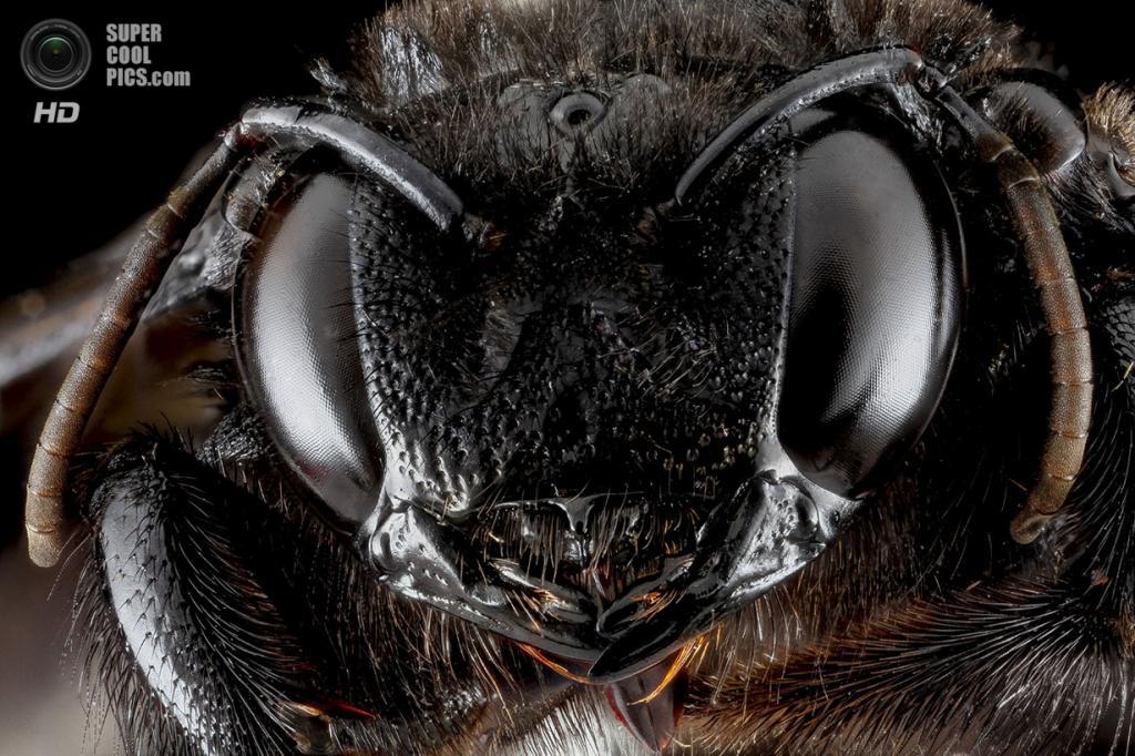 Пчела-плотник Xylocopa cubaecola. (Sam Droege)