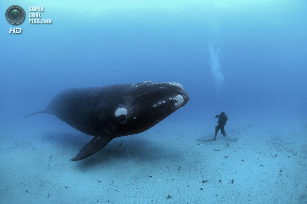 Южный гладкий кит. (Brian Skerry/National Museum of Natural History)