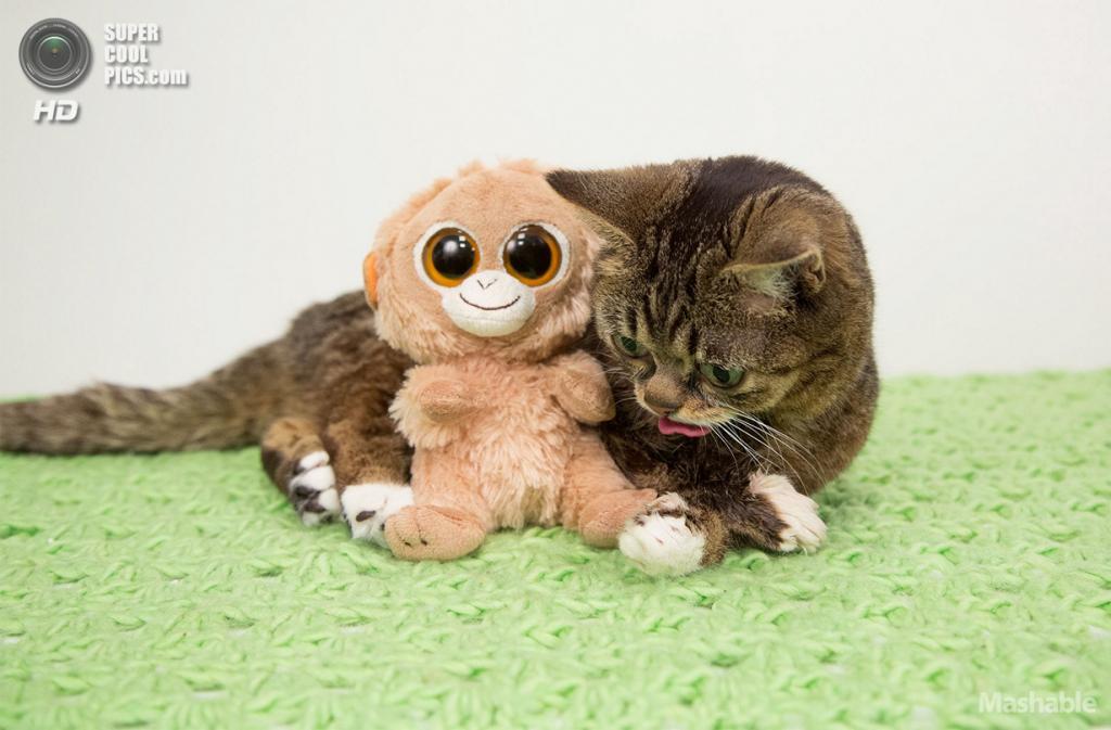 Кошка по кличке Lil Bub. (lilbub.com)