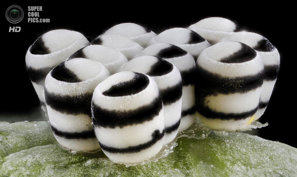 Яйца клопа-арлекина Murgantia histrionica. (Sam Droege)