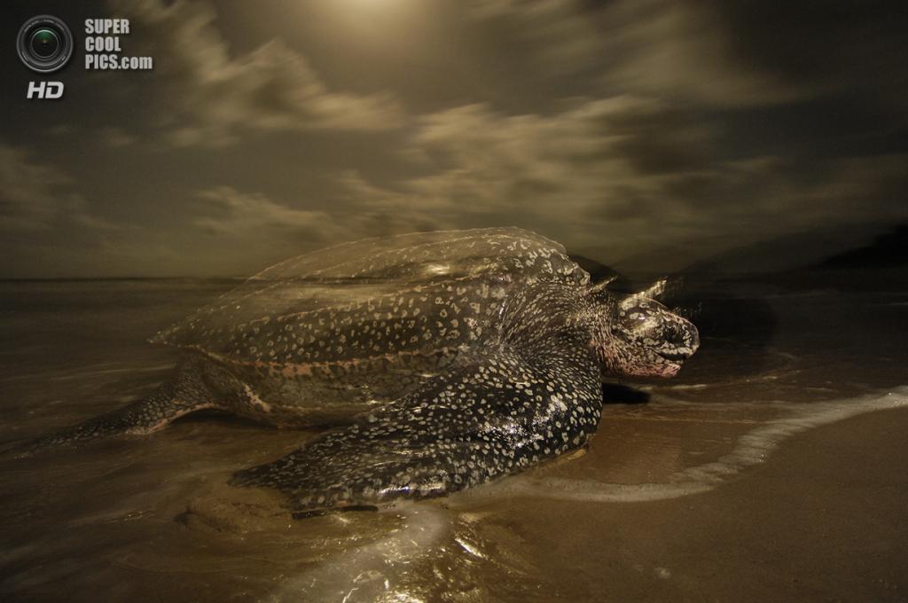Кожистая черепаха. (Brian Skerry/National Museum of Natural History)