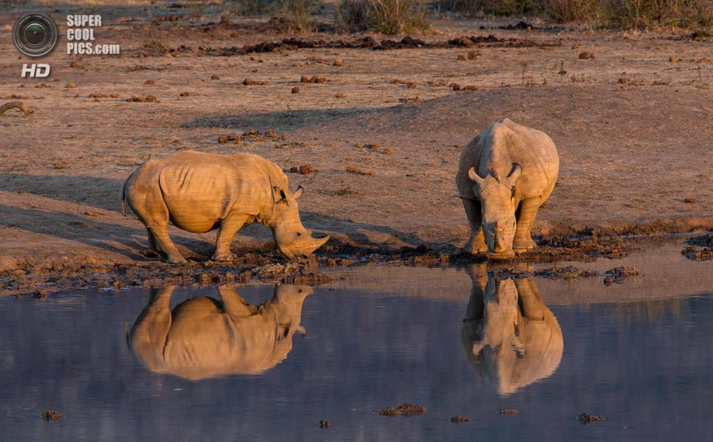 Носороговые. (Gavin Tonkinson)