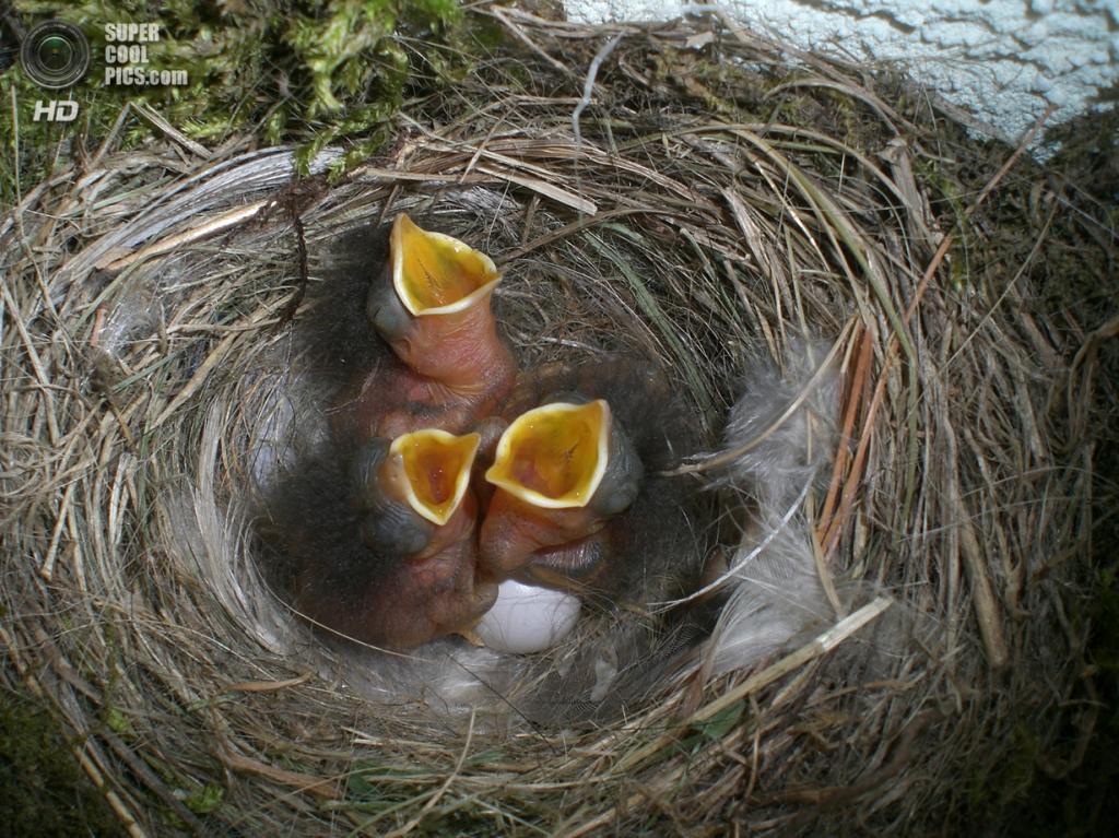 Гнездо и птенцы горихвостки-чернушки. (Onegin)