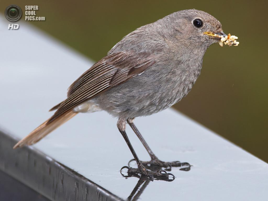 Самка горихвостки-чернушки с кормом для птенцов в клюве. (Michael Apel)