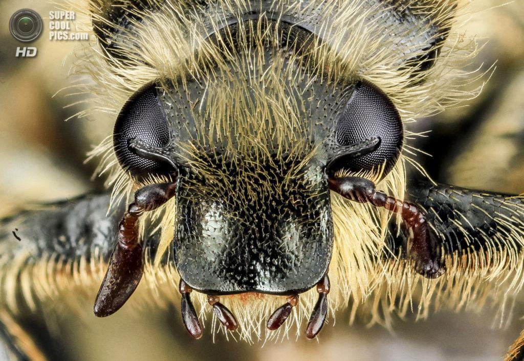 Пластинчатоусый жук Trichiotinus assimilis. (Sam Droege)