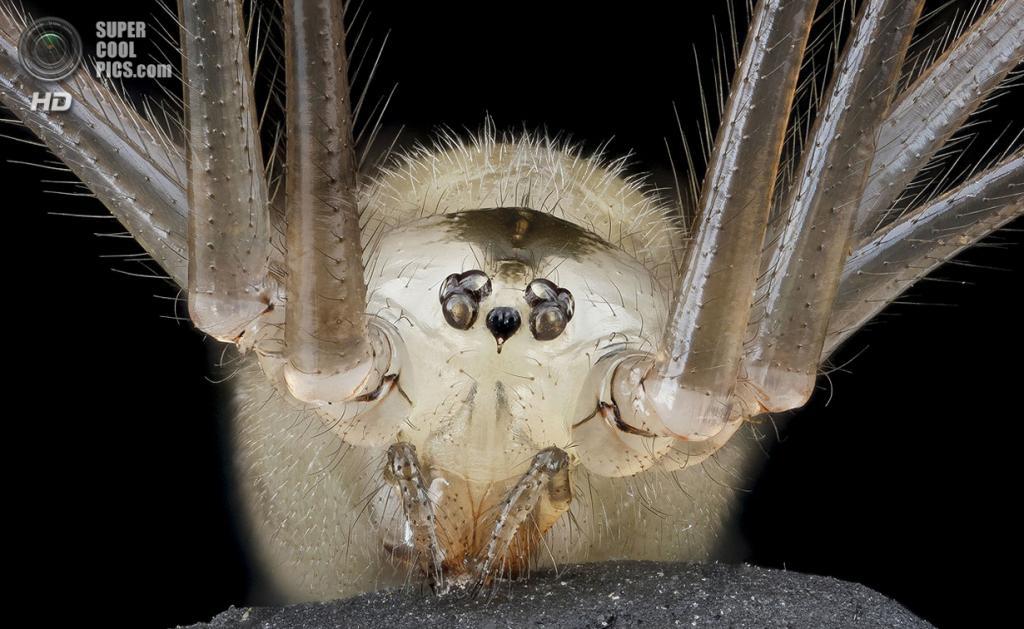 Паук Pholcus phalangioides. (Sam Droege)