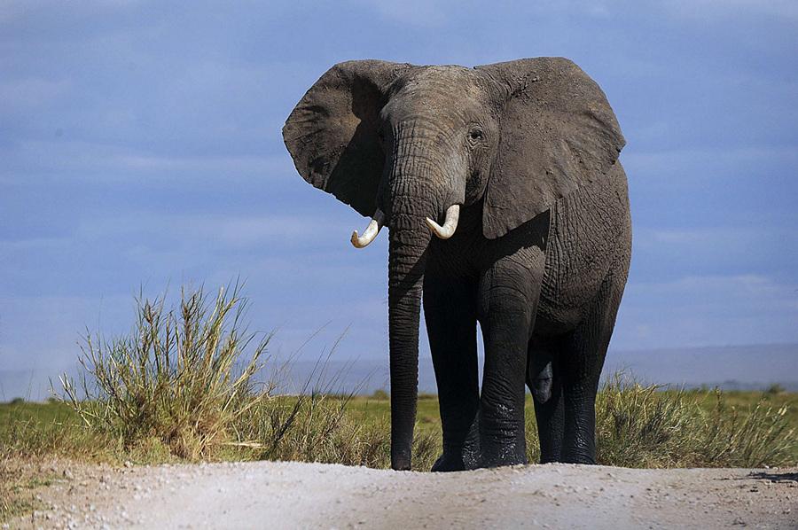 Подсчёт слонов (13 фото)