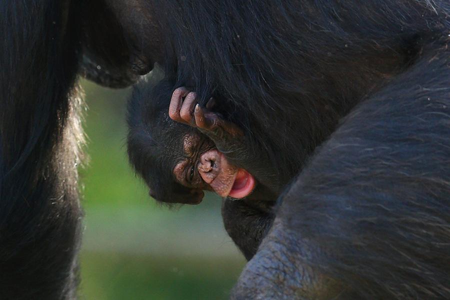 Пополнение у шимпанзе в зоопарке Таронга (5 фото)