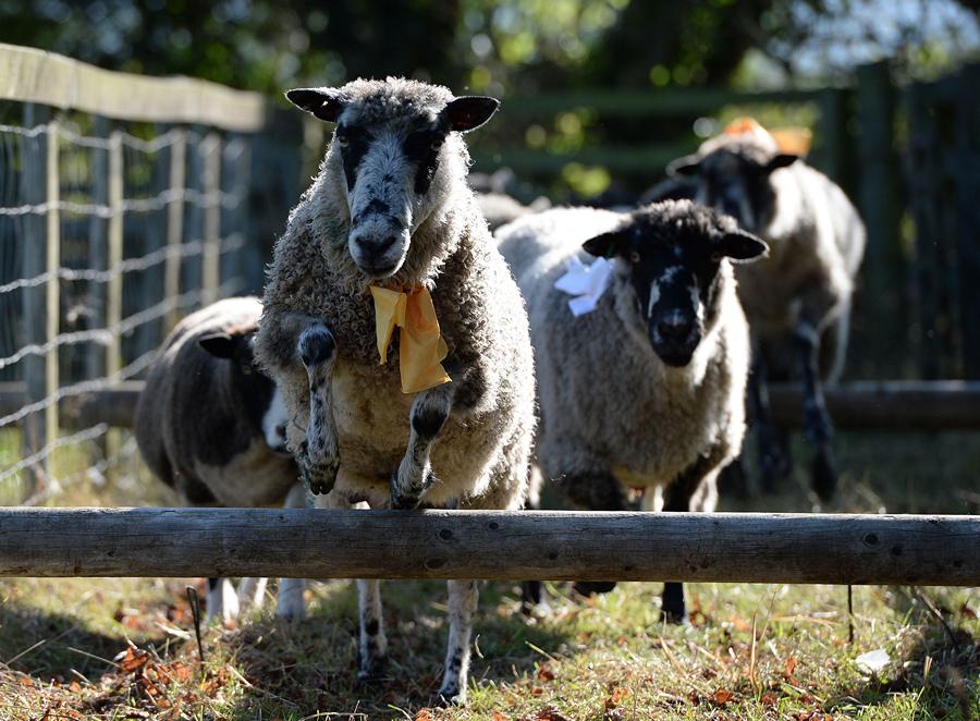 Великобритания. Мэшем, Северный Йоркшир. 28 сентября. На 25-й Мэшамской ярмарке овец. (Nigel Roddis/Getty Images)