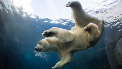 Пара белых медведей из Копенгагена (9 фото)