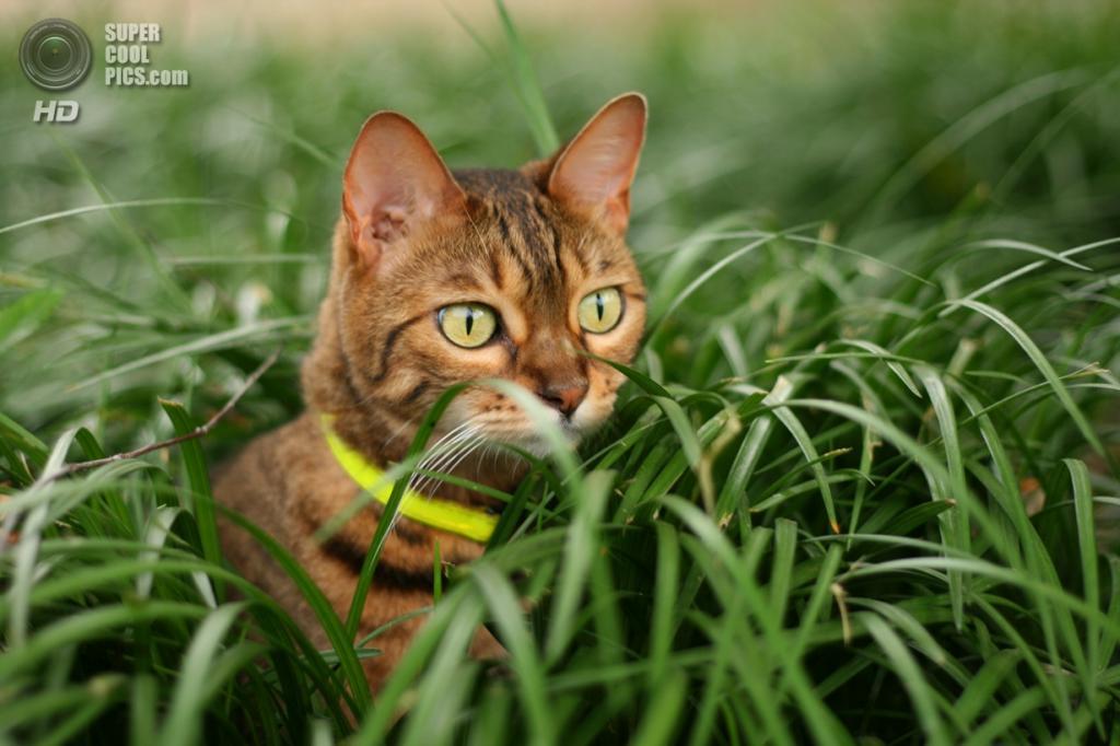 Бенгальская домашняя кошка. (speedofsoundtn)