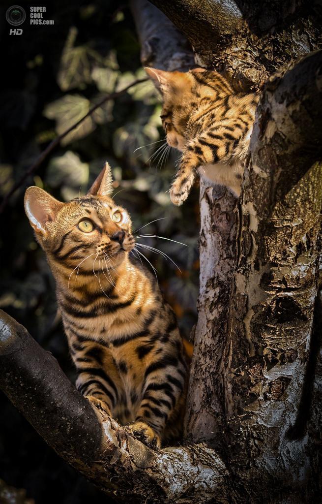 Бенгальские домашние кошки. (Andreas Krappweis)