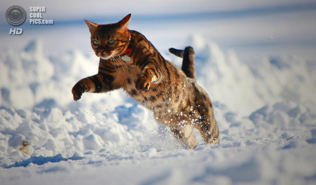 Бенгальская домашняя кошка. (NanaBorderCollie)