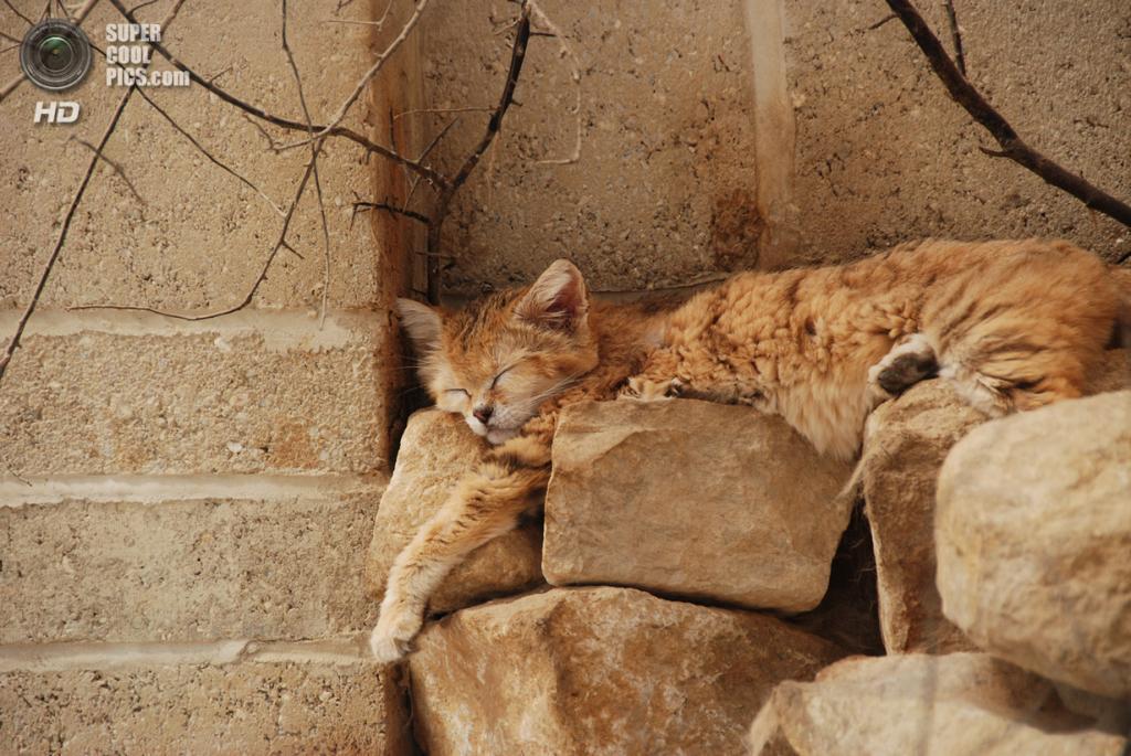 Барханный кот. (Sh0rty)