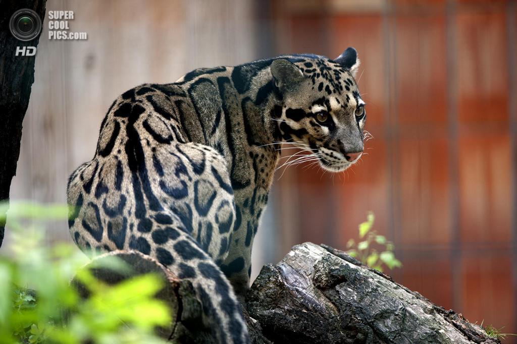 Дымчатый леопард. (Alexander Brau)