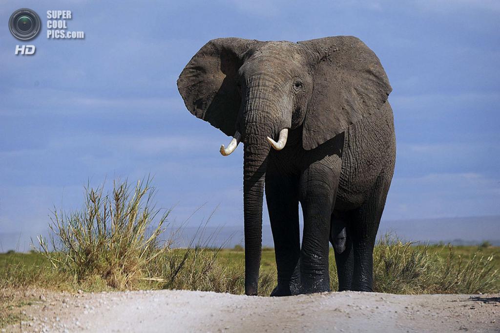 Кения. Лоитокиток, Рифт-Валли. 7 октября. Во время подсчета слонов и других крупных млекопитающих в национальном парке Амбосели. (TONY KARUMBA/AFP/Getty Images)