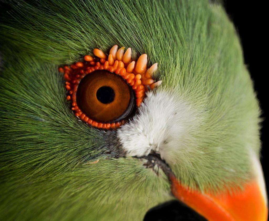 Гвинейский турако: Тропическая кукушка (8 фото)
