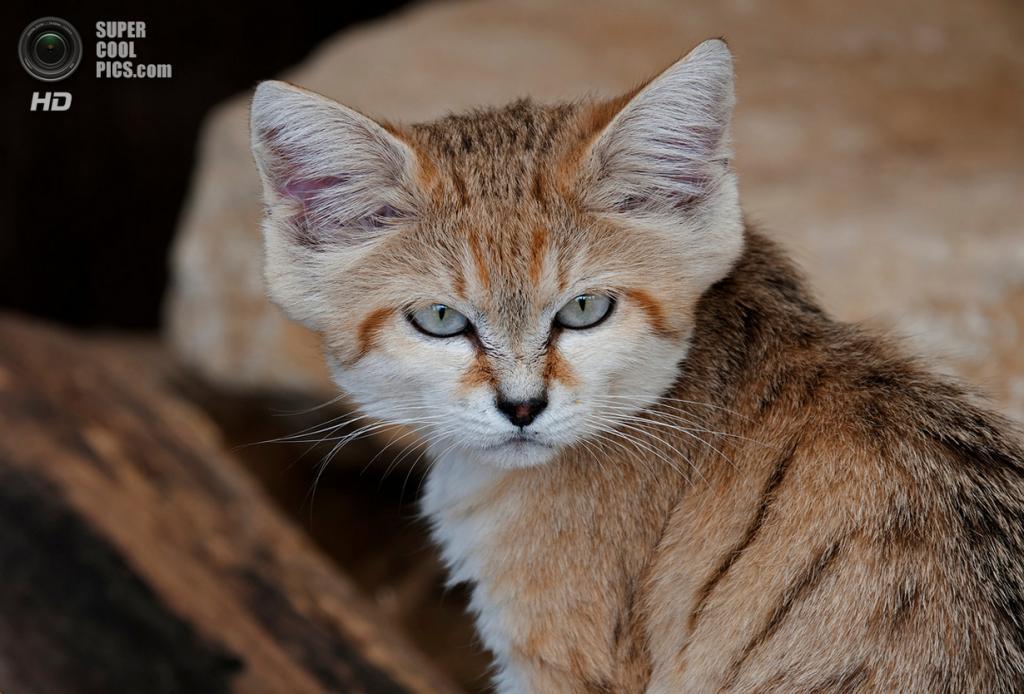 Барханный кот. (Paul Martin)