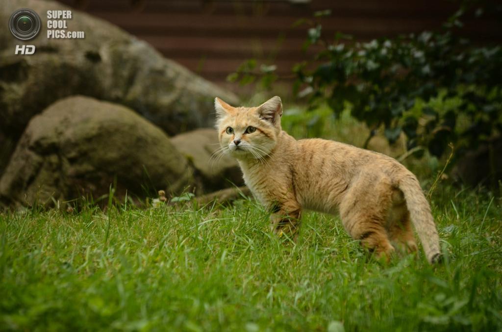 Барханный кот. (getwall)