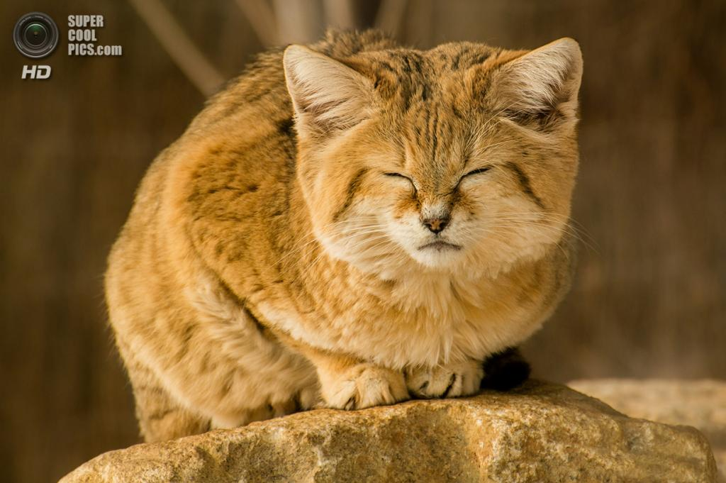 Барханный кот. (Adrian Blaszczyk)