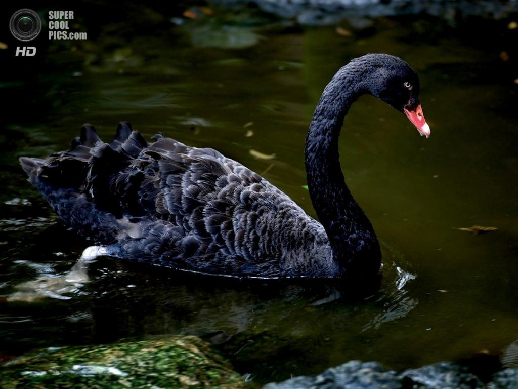 Чёрный лебедь. (Игорь Жуков)