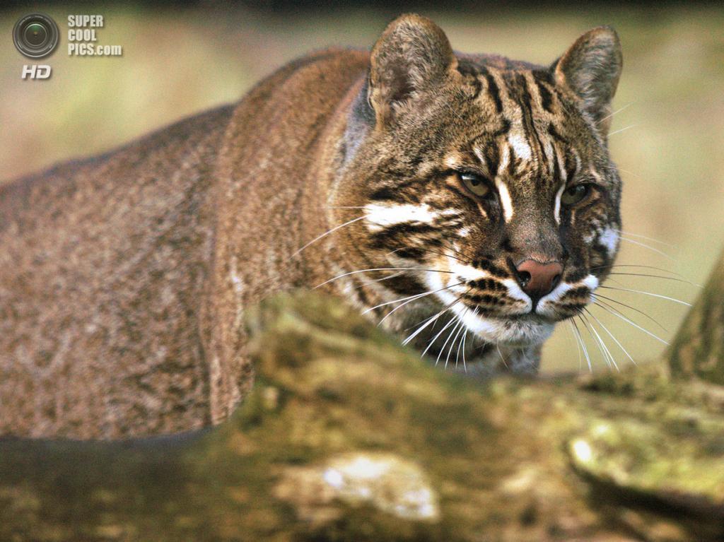 Кошка Темминка. (dfg photography)