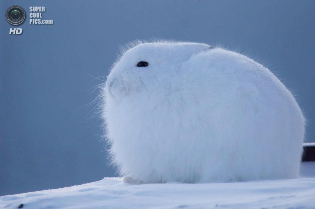 Арктический беляк. (Clare Kines)