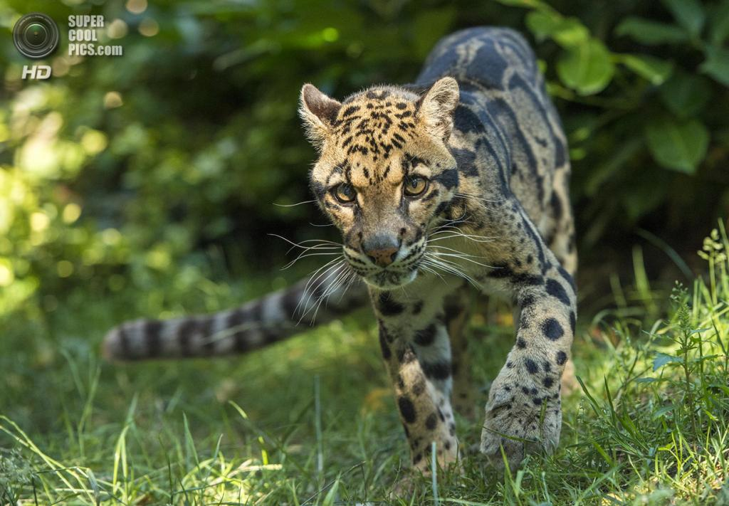 Дымчатый леопард. (Colin Langford)