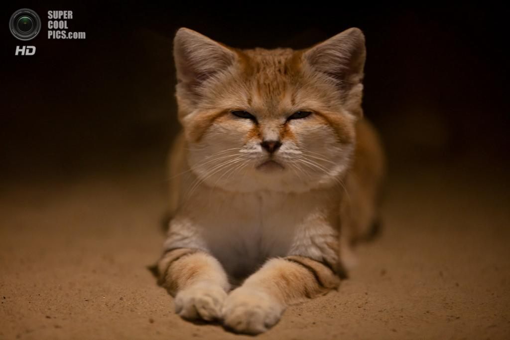 Барханный кот. (RouvenW)