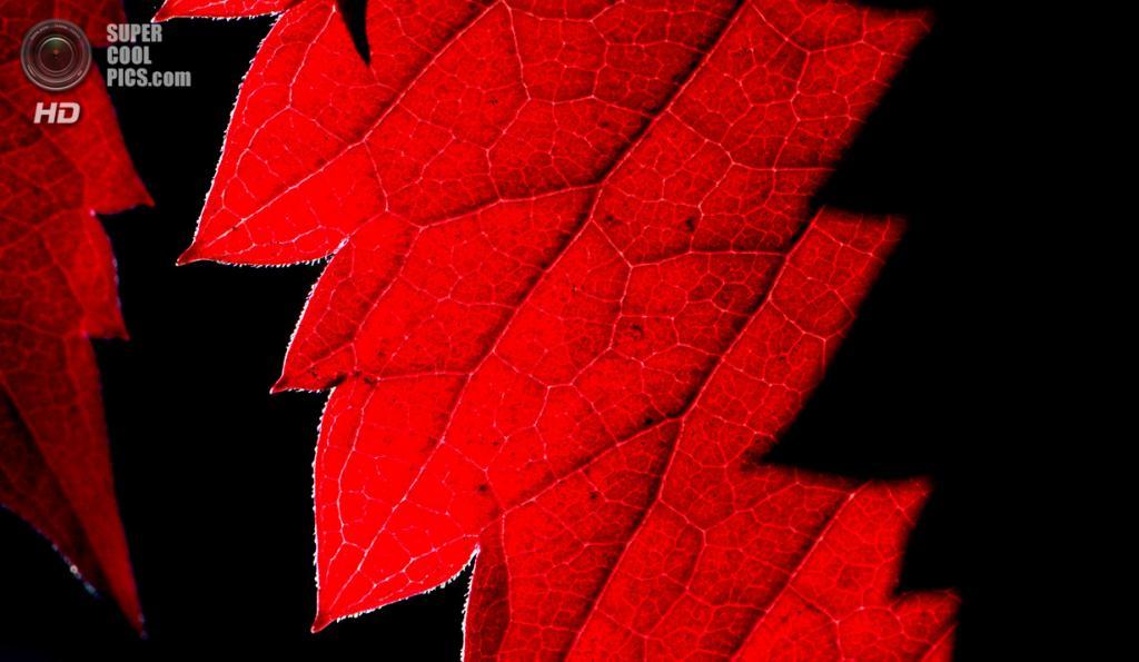 Германия. Потсдам, Бранденбург. 19 сентября. Листья дикого винограда. (Ralf Hirschberger/AFP/Getty Images)