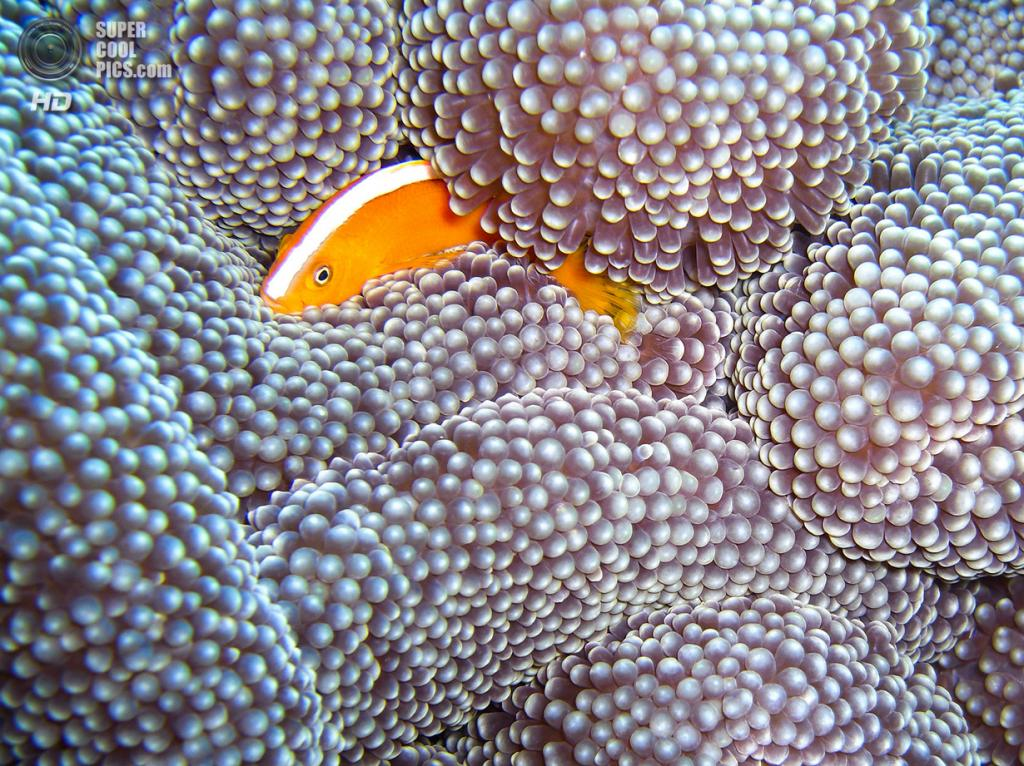 Рыба-клоун. (David M. Hogan)
