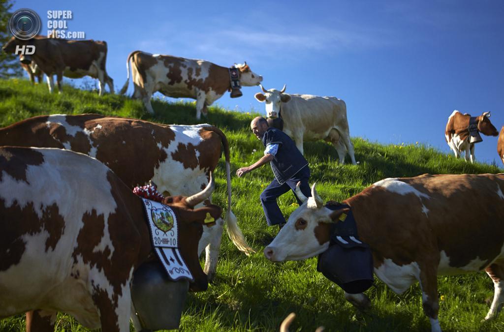 Швейцария. Грюйер. Стадо коров пасется на горе Цермон. (Reuters/Denis Balibouse)