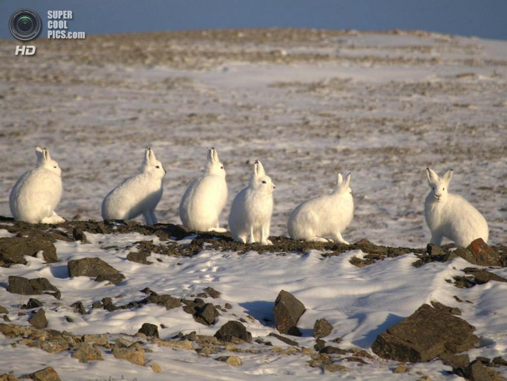 Арктические беляки. (pfogal)