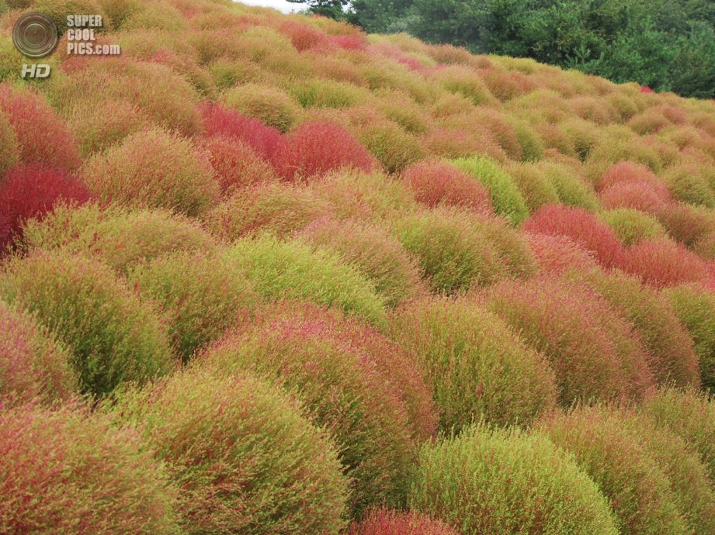 Япония. Хитатинака, Ибараки. Парк Хитачи-Сисайд. Осень. Кусты кохии. (dacheket)
