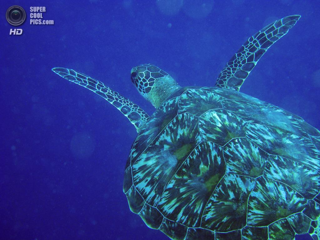 Зелёная морская черепаха. (David M. Hogan)