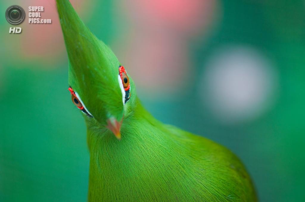 Гвинейский турако. (zoohiko)