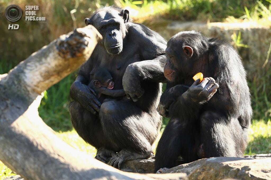 Австралия. Сидней, Новый Южный Уэльс. 25 октября. Шимпанзе по кличке Кума с новорожденным детёнышем в вольере зоопарка Таронга. (Cameron Spencer/Getty Images)