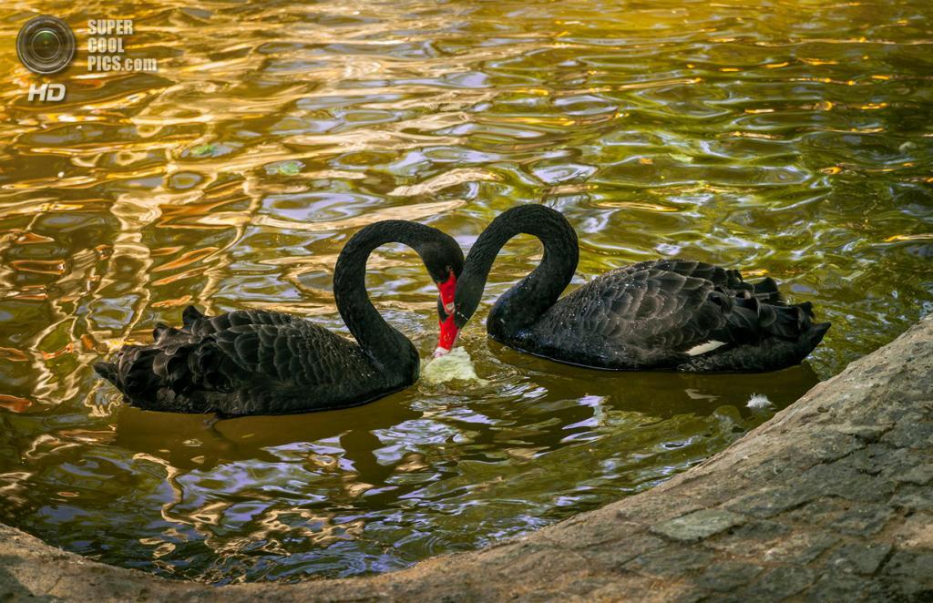 Чёрные лебеди. (Hasan Basar)