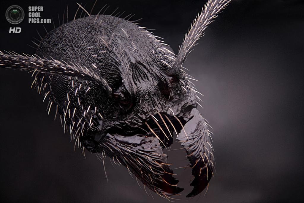Рабочий муравей Aphaenogaster senilis, 4x увеличение. (Dimitri Seeboruth)