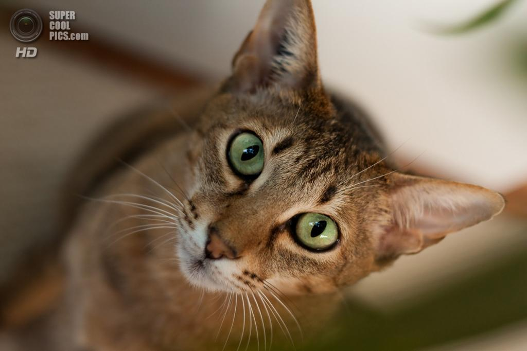 Бенгальская домашняя кошка. (dm0231)