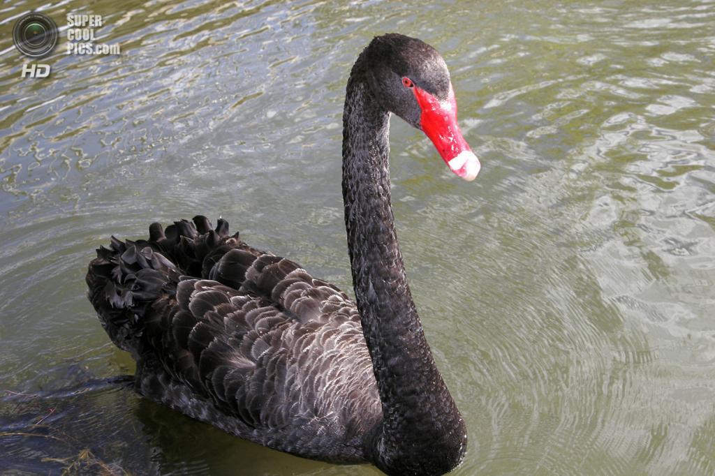 Чёрный лебедь. (fir0002)