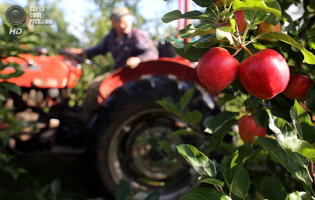 Великобритания. Вустер, Вустершир, Англия. 8 октября. Осенние яблоки в саду. (Matt Cardy/Getty Images)