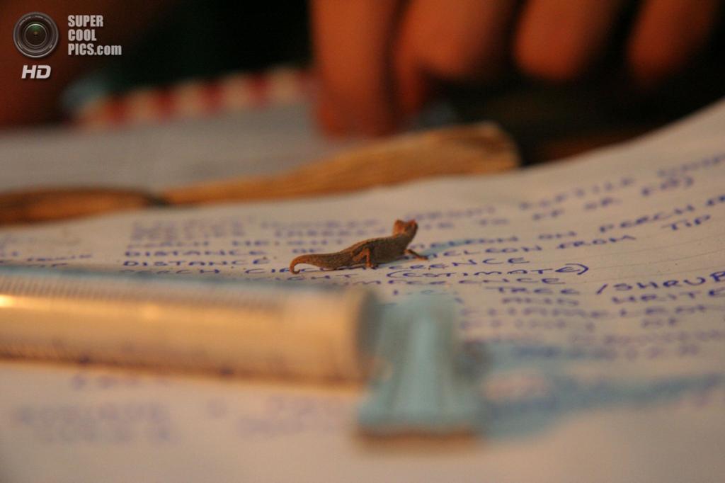 Малая брукезия. (Sam Driscoll)