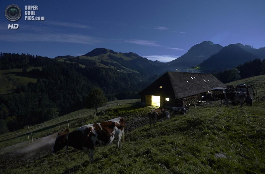 Швейцария. Грюйер. Коровы на горе Ла-Провета. (Reuters/Denis Balibouse)