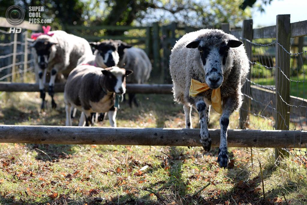 Великобритания. Мэшем, Северный Йоркшир. 28 сентября. На 25-й Мэшемской ярмарке овец. (Nigel Roddis/Getty Images)