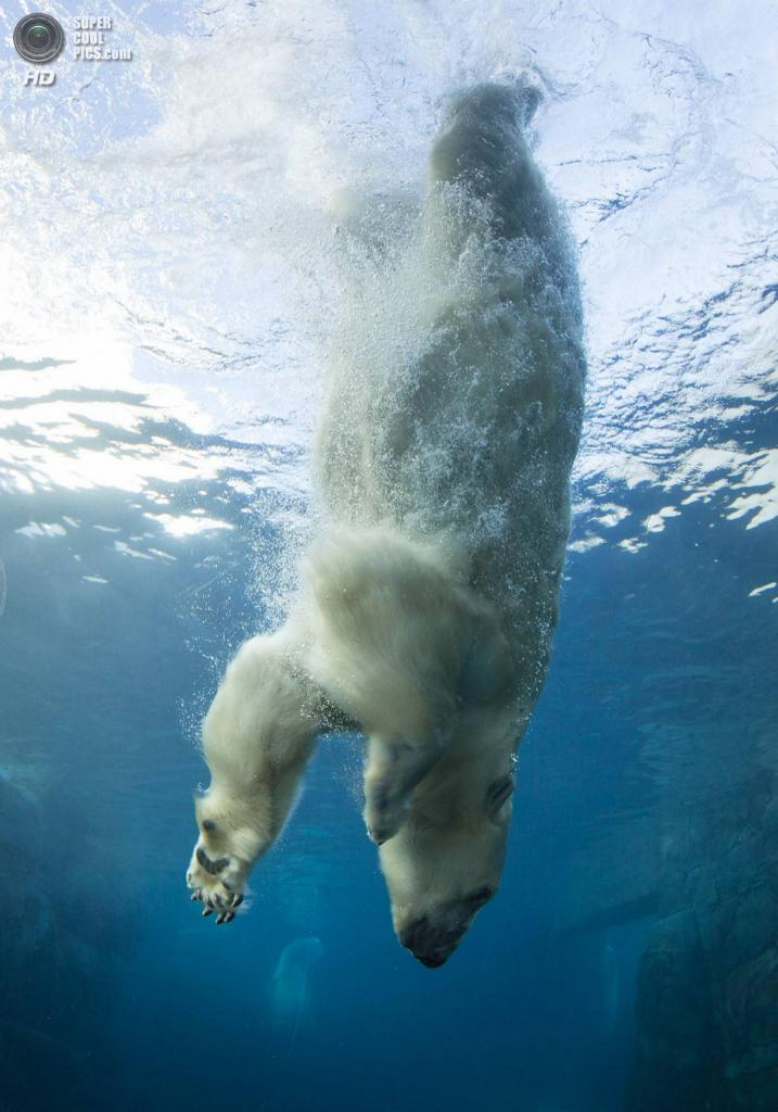 Видео как белый медведь ловит рыбу видео