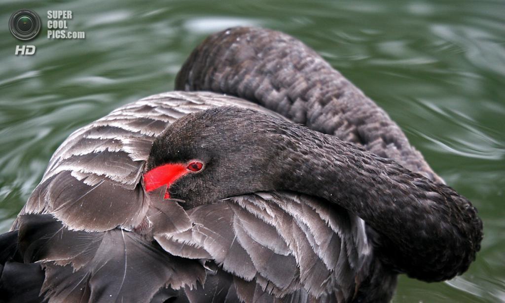 Чёрный лебедь. (Bill Evitts)
