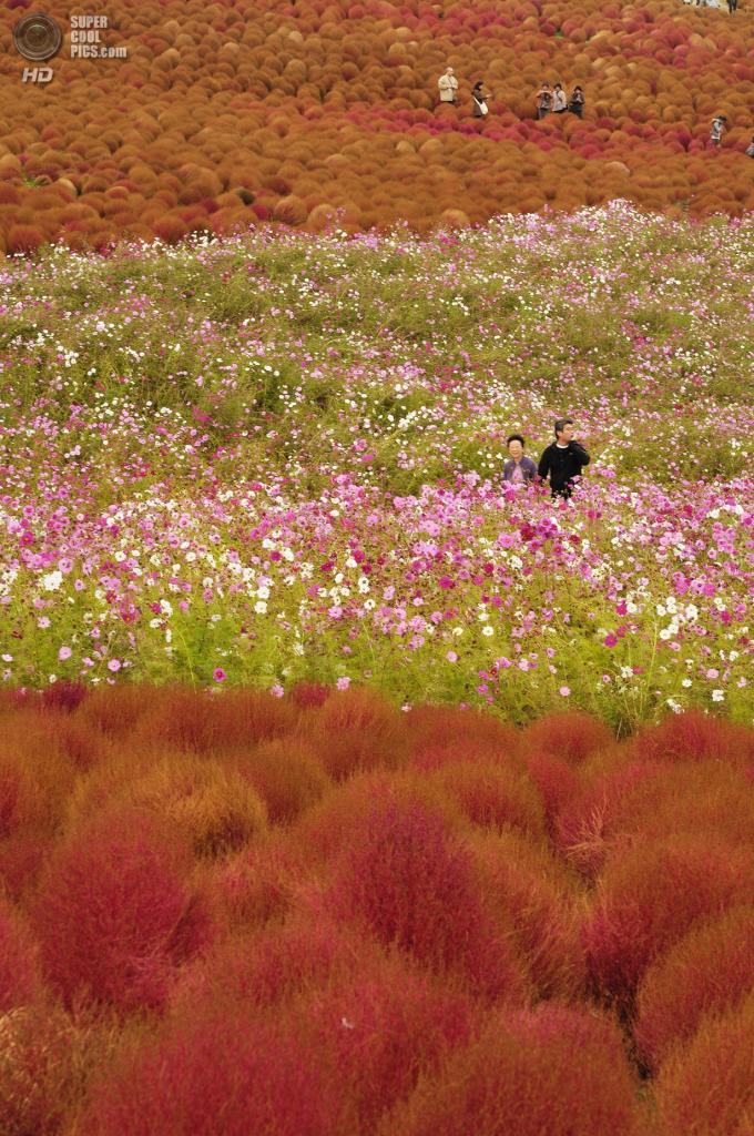 Япония. Хитатинака, Ибараки. Парк Хитачи-Сисайд. Осень. Кусты кохии. (ajari)