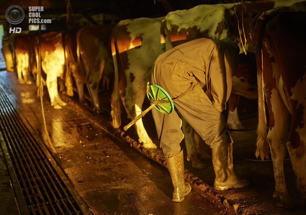 Швейцария. Грюйер. Фермер доит коров. (Reuters/Denis Balibouse)
